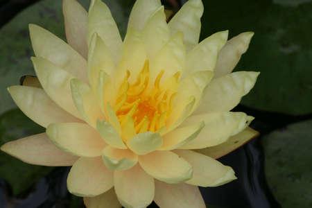 Ninfea, il giallo, il mio laghetto Archivio Fotografico - 3212267