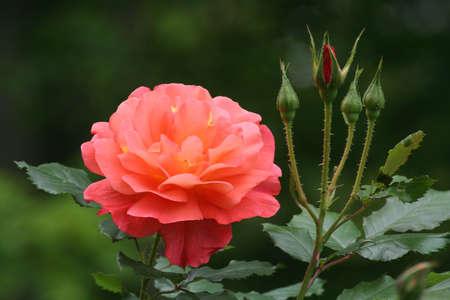Rose, flower, new buds