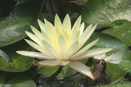 lilypad: waterlily, frog