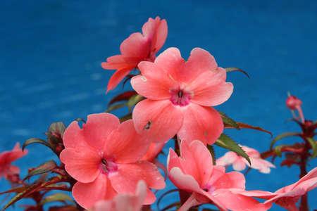 impatiens: Flor, Impatiens Foto de archivo