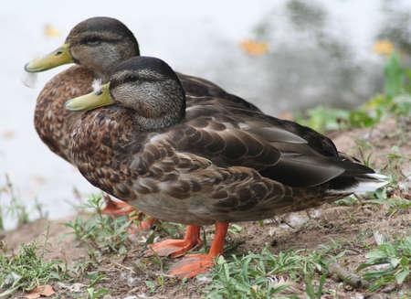ducks Imagens - 3492595