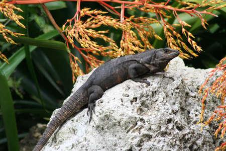 key biscayne: Iguana, Key Biscayne, Florida Stock Photo