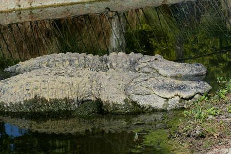 alligators: alligators, Florida Stock Photo