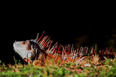 iguana, Florida photo