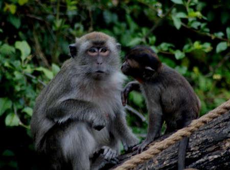 monkeys 版權商用圖片