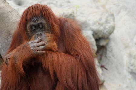 nose picking: orangutan Stock Photo