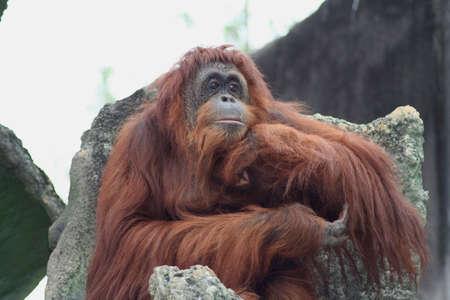orangutan Stock fotó