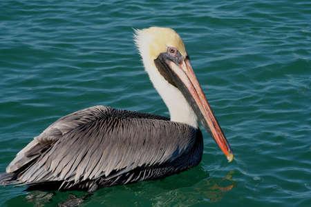 pelican Banco de Imagens - 4463386