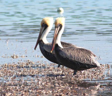 sandbar: pelicans