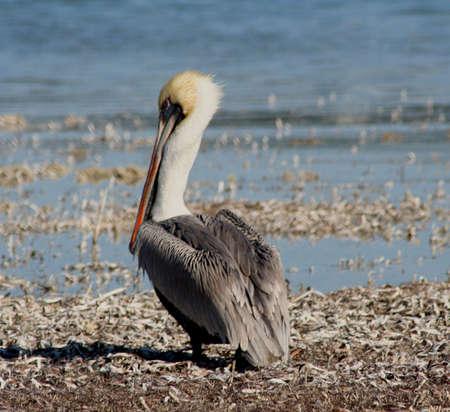 sandbar: pelican on sandbar Stock Photo