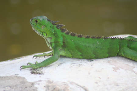 iguana, relaxing photo