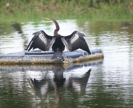 cormorant, reflection, lake 版權商用圖片