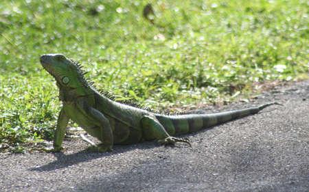 iguana, Crandon Park Gardens photo