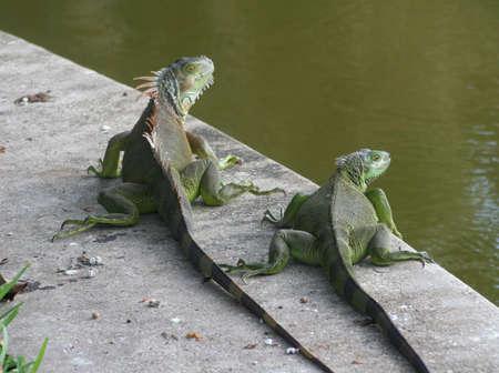 iguanas, waters edge
