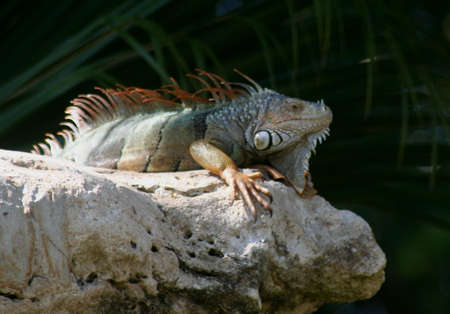 key biscayne: iguana, Key Biscayne, Florida