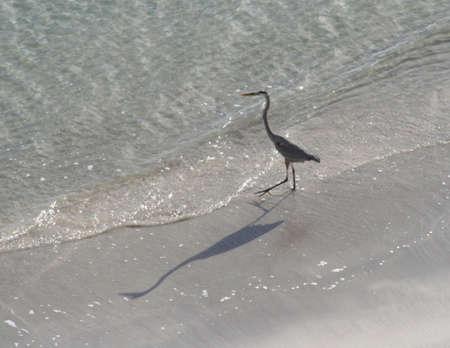 key biscayne: heron, beach, Key Biscayne, Florida