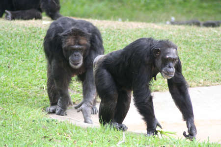 chimpances: chimpanc�s, Miami Metro Zoo