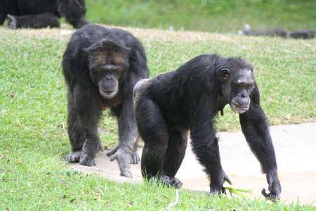 chimpanzees, Miami Metro Zoo Reklamní fotografie - 6147298