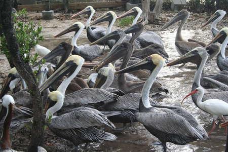pelicans, feeding time Stock fotó