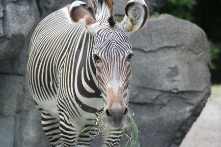 Zebra eten