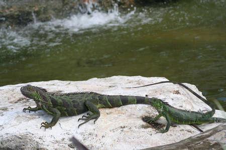 iguanas photo