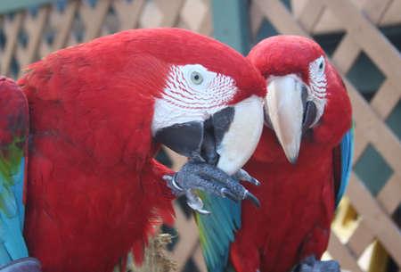 parrots, macaws