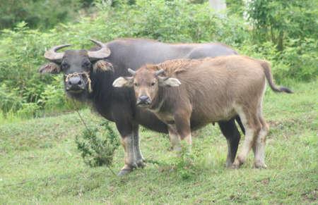 Guilin, China, water buffalo 版權商用圖片