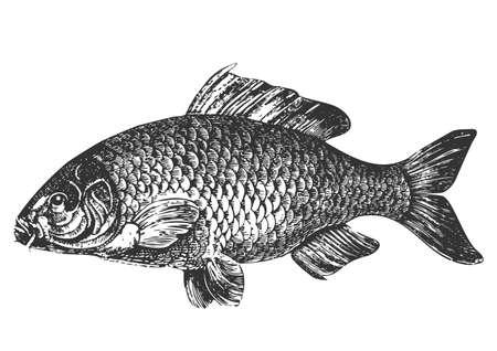 pez carpa: Ilustraci�n de antig�edad de pescado de carpa  Vectores