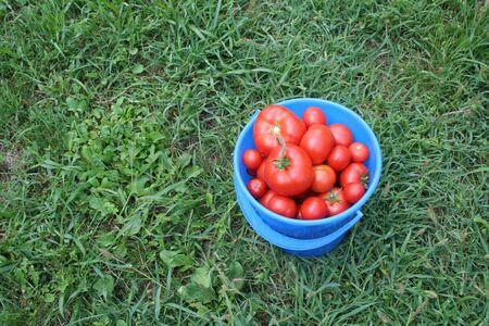Blue bucket full of tomato Stock Photo