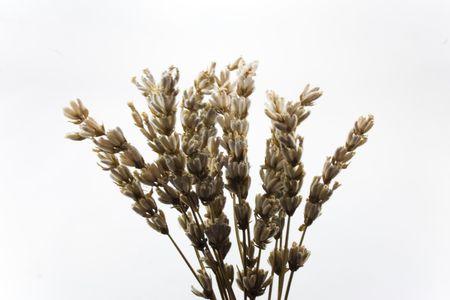 Lavander plant