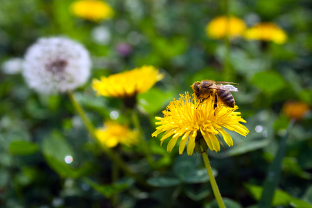 Bee on dandelion Stock Photo