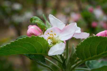 Pear blossom in the garden