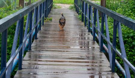 Street dog runing over wet bridge