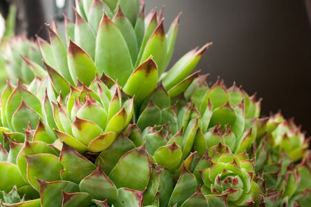 Shot of green plant Sempervivum tectorum)