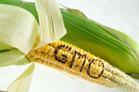 GMO letters on corn Stock Photo