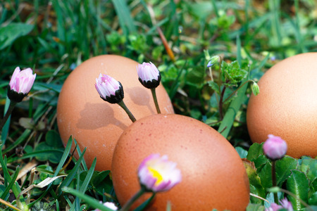 Group of eggs in grass with daisies around