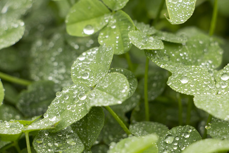 Clover with dewdrops in park