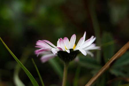 Macro shot of daisy petals