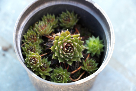 sempervivum tectorum in pot