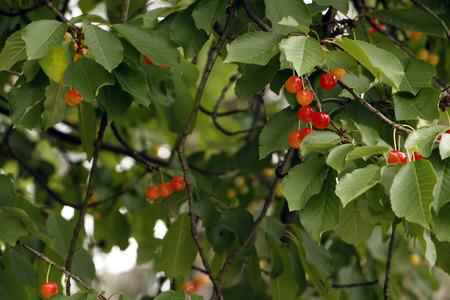 Cherry on tree