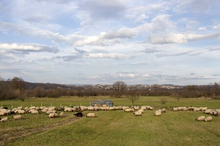 Sheeps flock on meadow