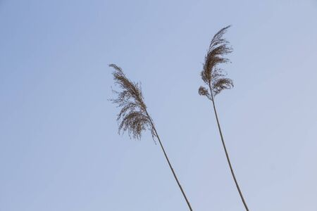 High plant stalk with clear sky in the background Stock Photo