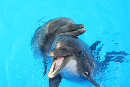 two lovers dolphin swimming in the pool Stock Photo