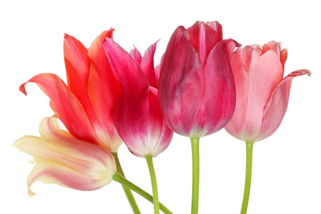 blooming. purple: multicolored tulips on white background
