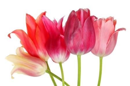 wielokolorowe Tulipany na białym tle