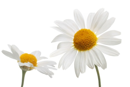 simple flower: chamomile flowers in isolation