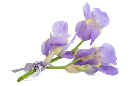 purple iris: A branch of flowers blue iris, isolated