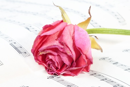 wilted rose flower on the music paper  small DOF  photo