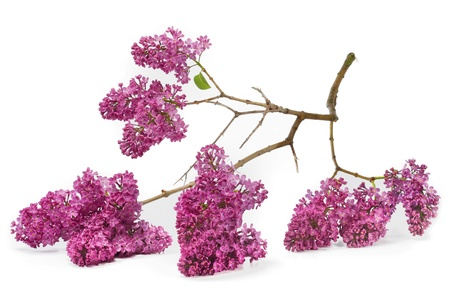 branch of lilac, isolation photo