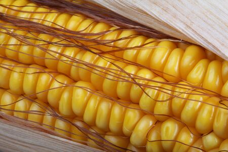 A fresh ear of ripe corn, close-up photo